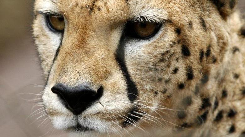 Suudi zenginlerin yeni merakı: Afrika'dan çita kaçırıyorlar