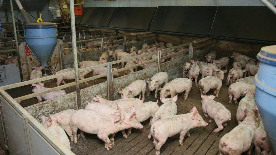 Afrika domuz vebası yayılıyor: 7,7 milyar dolarlık endüstri için büyük tehdit