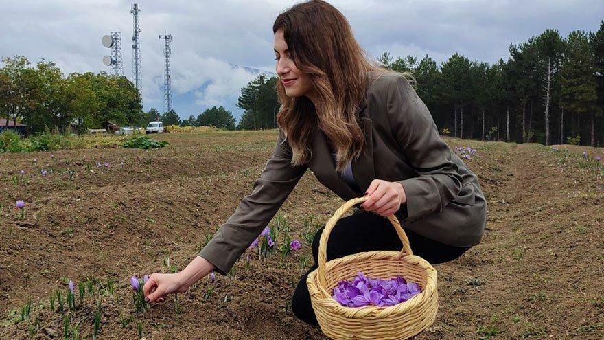 Kilosu 60 bin liradan satılan safranda hasat başladı