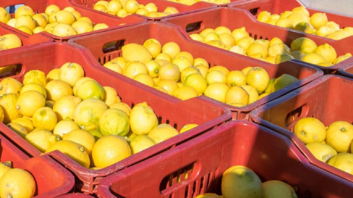 Üreticiden limon isyanı: Tarlada 1 TL, Tarım Kredi satış mağazasında 5,9 TL