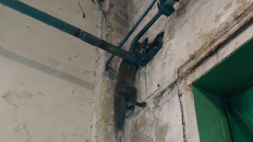 Fabrikaya giren tilki boru ve duvar arasında sıkıştı