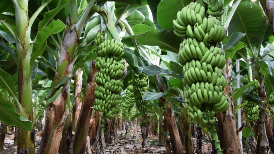 Muzda hasat zamanı: Rekolte artınca fiyat düştü
