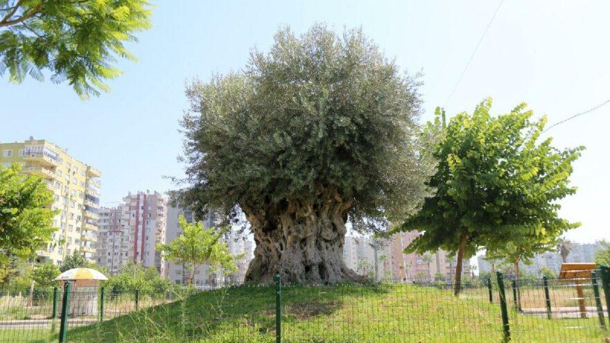 Bin 204 yaşındaki anıt ağaçtan zeytin hasadı
