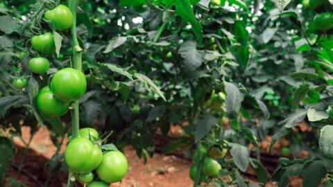 Yaylada hasat süresi uzadı, domatesin fiyatı 10 lirayı geçti